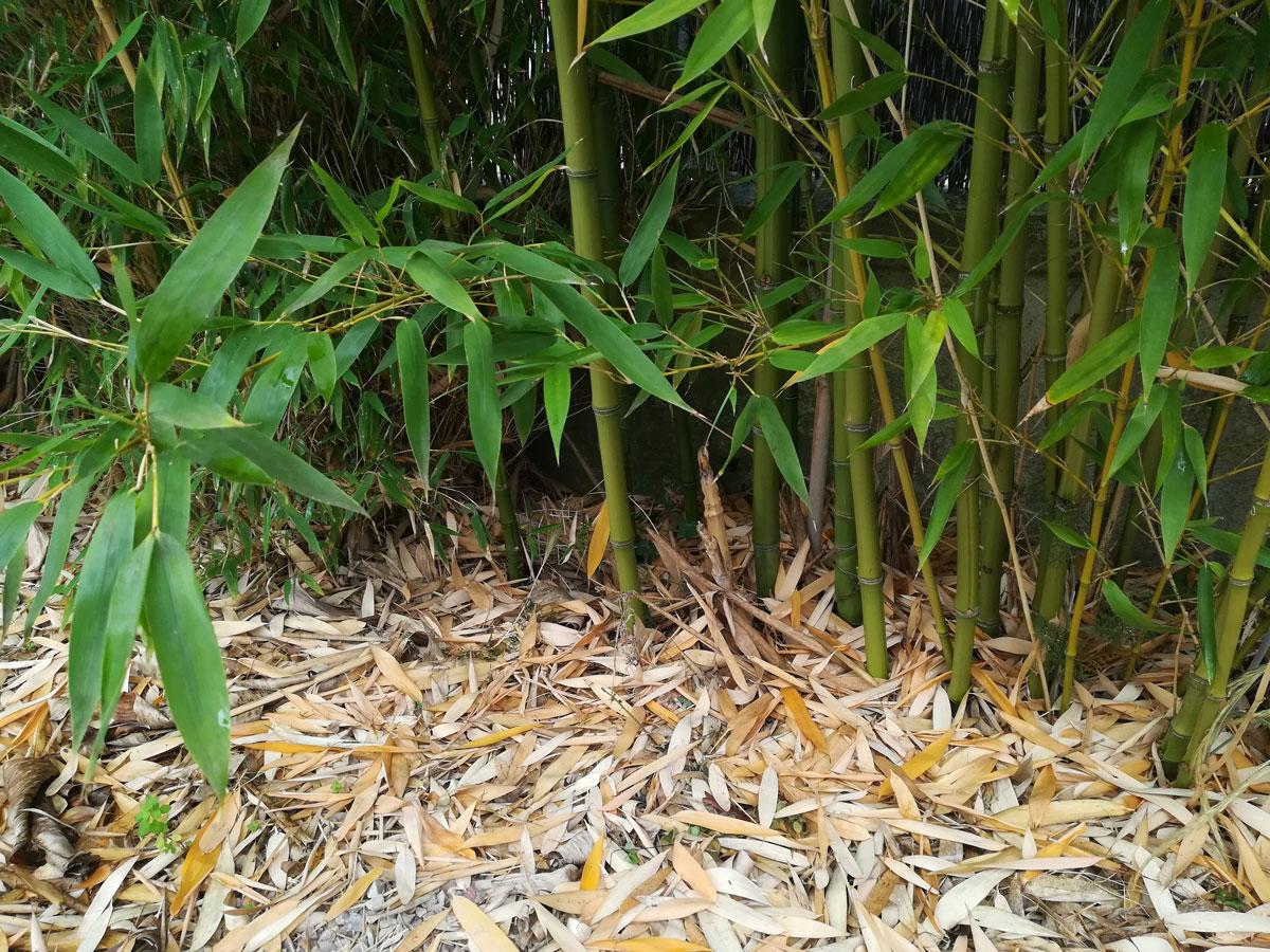 bambou jardin anti-rhizome