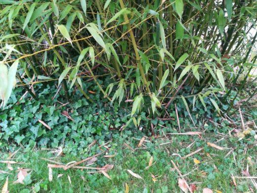 Anti rhizome Bambous jardin