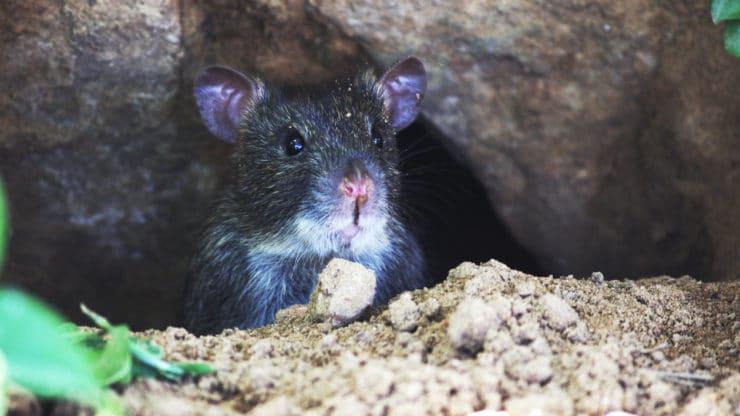 rat-elimination